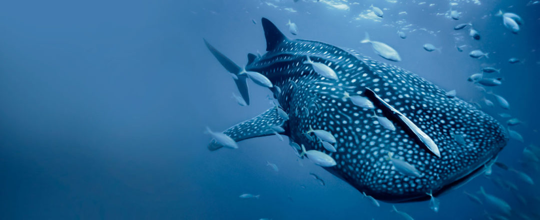 whale shark conservation project
