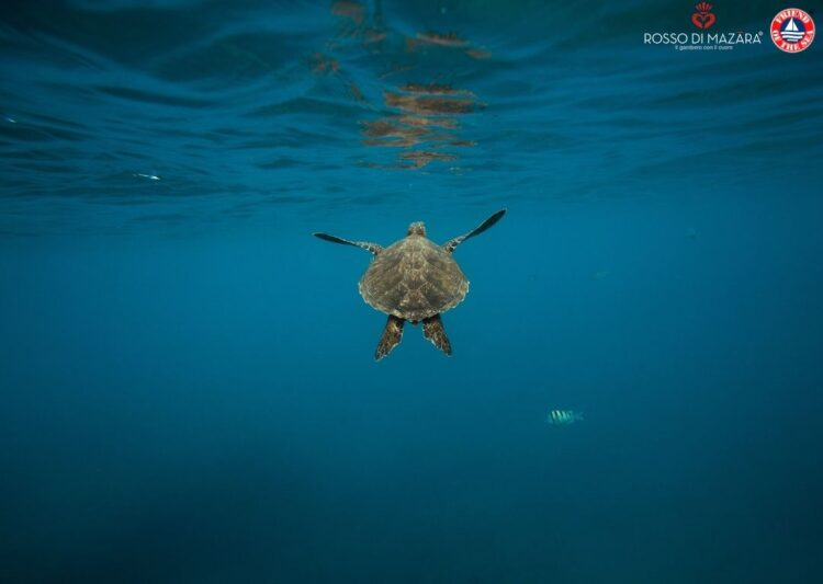 """Webinar on """"Turtle Excluder Devices and Turtle Safe certification. Medina Rosso di Mazara Giant red Shrimp fleet case study"""" 17th of March 2021 at 03 pm in Milan, CET"""