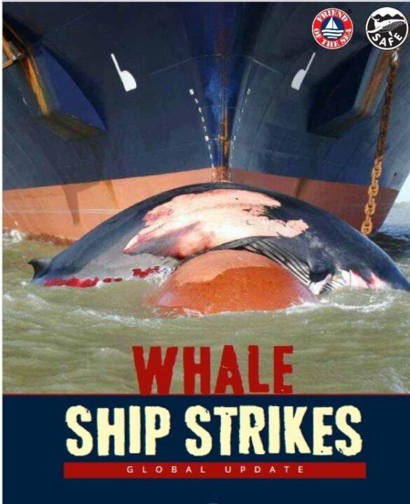 Friend of the Sea lanza una nueva certificación de seguridad para<br>las ballenas y publica un dossier sobre las colisiones de barcos<br>con ballenas post image