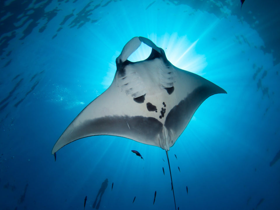 Many manta rays swimming together in the ocean - Fos Standard certification