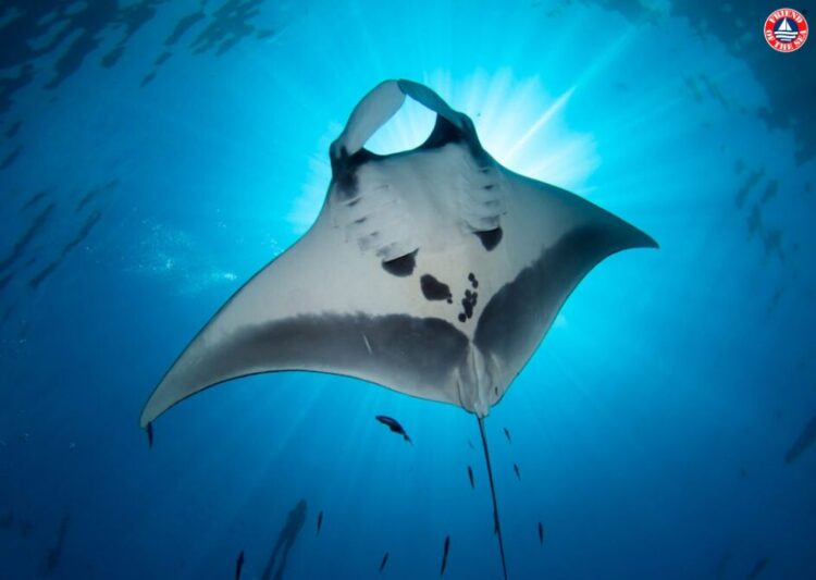 Friend of the Sea Honors World Manta Day with Standards for Sustainable Manta Ray Watching and Species Protection