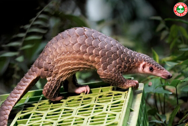 New Petition Asks Chinese and Vietnamese Governments to Enforce Pangolin Trade Ban post image