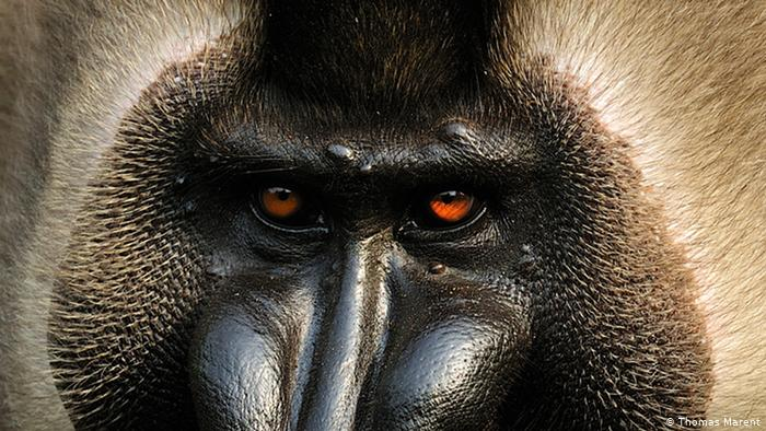 Save the Primates