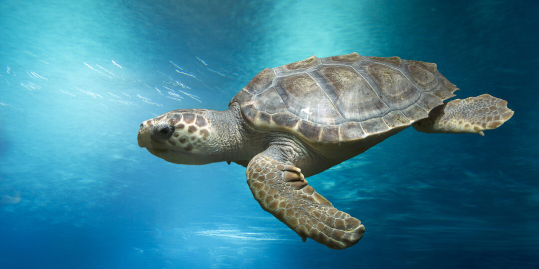 sea turtles fos certification big