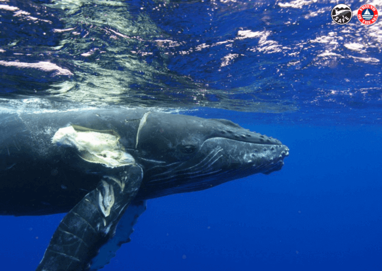 Collisions with Vessels, a Deadly Threat For Whales.