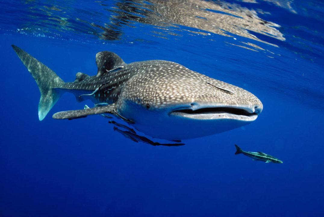 whale shark watching fos certification